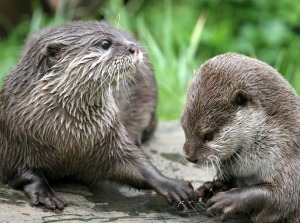 Asiatic Otters at the Zoo