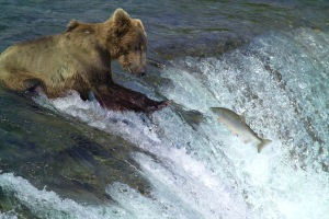 Bear Gets the Salmon