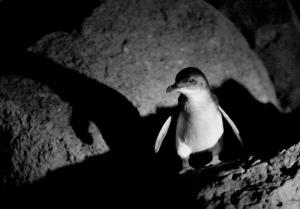 Penguins at St Kilda Pier