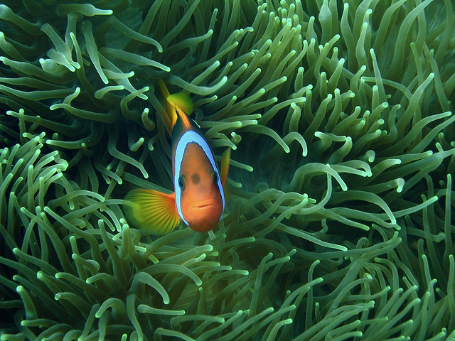 5 must visit diving spots in the pacific to find nemo for Buy clown fish