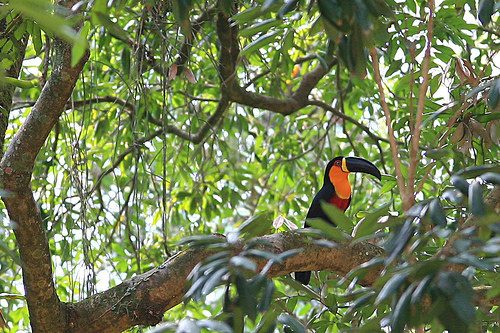 Channel-Billed Toucan in Brazil