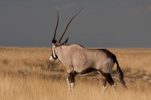 Nambia - Safari Oryx