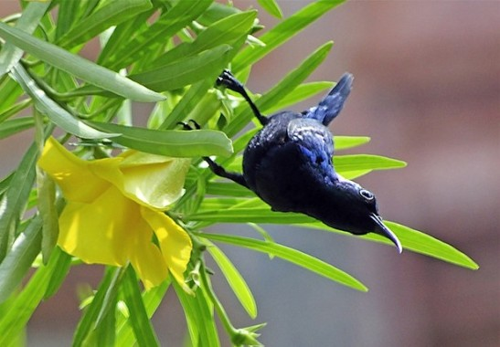 Sunderban National Park - purple sunbird
