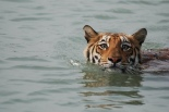 Sunderban National Park - Tiger