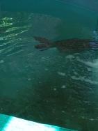 Jekyll Island - sea turtle