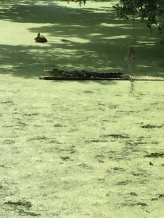 Magnolia Plantation - alligator2